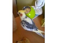 lovely Cockatiel up for sale
