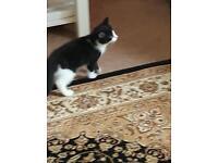 kittens for sale £100