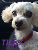"Adult Female Dog - Poodle: ""Tilly - Loves Car Rides!"""