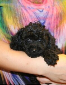 lovely black peral toy poodle female puppy