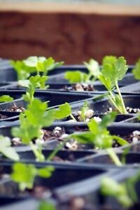 Vegetable Seedlings (Celeriac)
