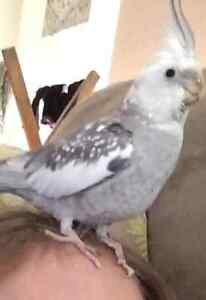 Lost Grey and white cockatiel Eltham Nillumbik Area Preview