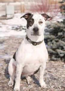"Adult Female Dog - Pointer-American Bulldog: ""Fiona"""