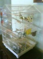 male and female budgie with cage