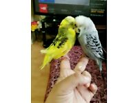 trained English budgie pair