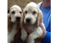 cocker spaniel puppies show type ready now CAN DELIVER