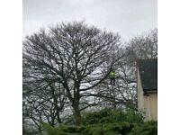 David Adams Tree services/surgeon