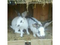 Old english rabbits