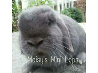 Blue Mini Lop Rabbit