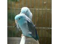 Blue parrotlets pair