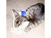 Dark tabby kitten