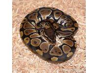Royal python with viv