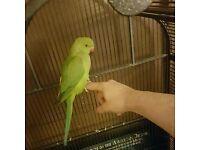 Green Indian ringneck parrot parakeet