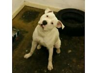 American bulldog crossed