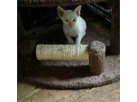 Beautiful Siamese kittens for ssle