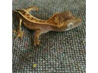 Crested gecko babies tri pins etc