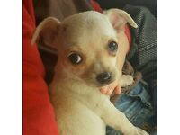 One male shortcoat chihuahua