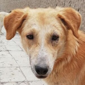 """Young Male Dog - Golden Retriever-Great Pyrenees: """"Spencer"""""""
