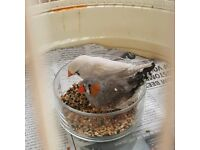 Zebra finches couple with cage