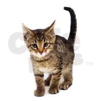I WANT A TABBY KITTEN $0-$100 8-12 WEEKS OLD