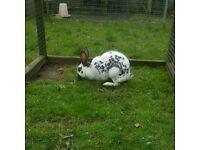 Old english black spots rabbit