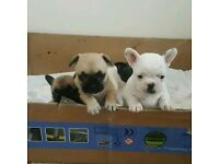 Gorgeous 3/4 frenchie pups