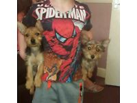 Yorkie pups for sale yorkshire terrier