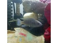 Malawi Cichlids. Job lot of 5 Beautiful Tropical Fish.