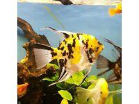 3 Adults angel fish