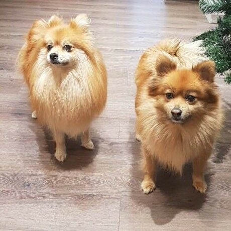 male pomeranian for sale pomeranian dogs female and male for sale in norwich 4358