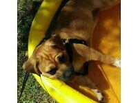 Lovely Pug cross Jack Russell