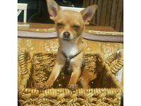 Chihuahua looking for loving home