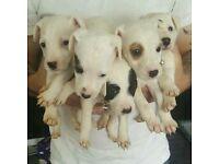 jack russel terrier pups