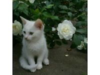 ADORABLE!!! White rare Turkish angora any offers