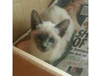 Gorgeous Ragdoll x Siamese kittens for sale to loving homes only