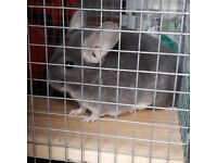 2 Male Chinchilla for sale, 15 months old with cage.