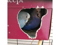 A pair of male and female budgies for sell with cage and food