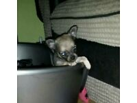 tiny chihuahua puppies **ONLY BOY AVAILABLE**