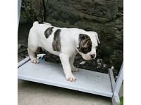 Bulldog puppy for sale