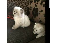 Persian mum ragdoll dad kittens for sale
