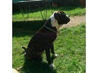 Boxer cross Staffordshire Bull terrier (Disel)