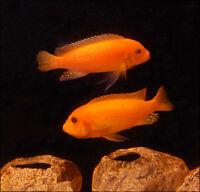 FISH - RED ZEBRA CICHLIDS