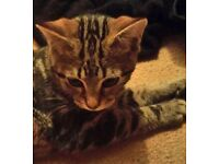4 month old tabby cat