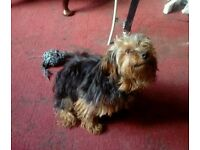 7 month Yorkshire Terrier. Text only.