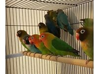 HIGH & STRONG QUALITY Coloured & Fischer Lovebirds [£30/£35/£40 EACH] For Sale + Cages From £20