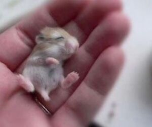 Very young 5 week oldd Russian dwarf hamster for sale