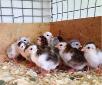 Guinea Keets and adults