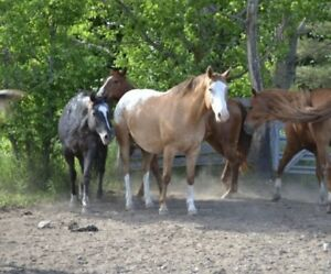 2004 Registered Appaloosa Mare