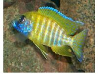 Yellow Peacock African Cichlid
