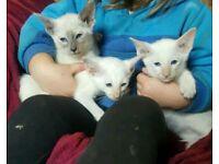 Beautiful Siamese kitten